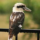 Kookaburra Sitting In The Rain  by Nickie