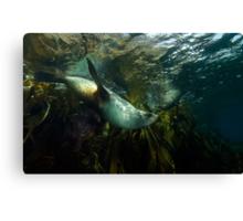 Fur Seals Canvas Print
