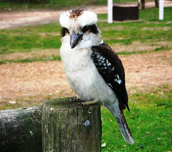 Kookaburra - Kingfisher family, good hunters by EdsMum