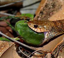 Keelback eating treefrog by Jessica Hacking