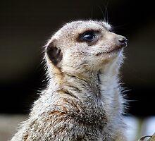 meerkat by Kate Towers IPA
