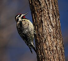 Yellow-bellied Sapsucker #2 by Michele Conner