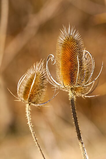 Winter Teasel by withacanon