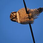 northern hawk owl by blehst