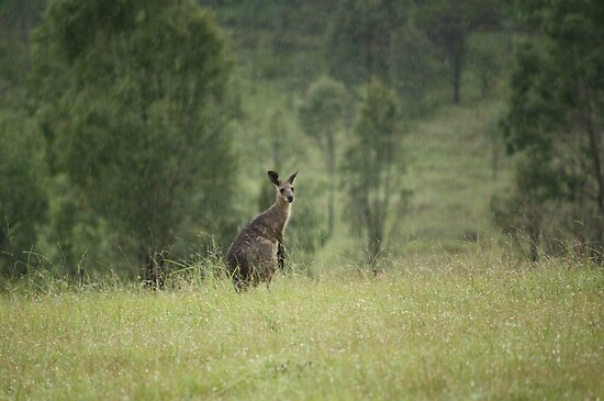A Kangaroo in the Rain by Edyta Magdalena Pelc