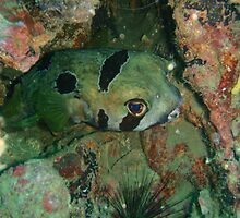 Peeping Masked Porcupine Fish by Richard Shakenovsky