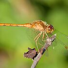 Sweet Dragonfly by Daniel  Parent