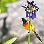 Sunbird by Cheryl Westerdale