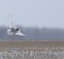 Snowy Owl takes flight by Jim Cumming