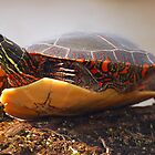 Painted Turtle by Daniel  Parent