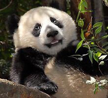Happy Panda - San Diego Zoo by Dan Pietropaulo