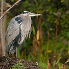 Blue Heron at Rest by Daniel  Parent