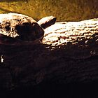 Relaxing in the Sun; Turtle by SMarie
