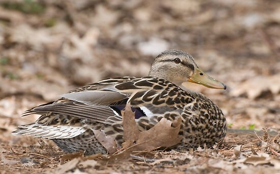 Camouflage Duck  by Daniel  Parent