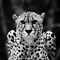 Wild Cats Only in B&W!!!