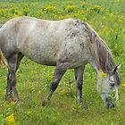 Grazing Horse  by Daniel  Parent