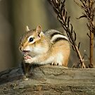 Friendly Chipmunk  by Daniel  Parent