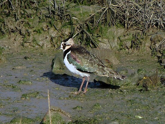 Lapwing 01 by Sharon Perrett