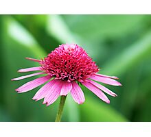 Pretty in Pinks Coneflower Photographic Print