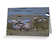 Redshank ..........maybe? Greeting Card