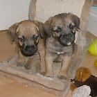 Border Terrier Puppies by AleFest