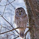 Backlit Barred Owl  by Daniel  Parent
