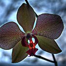Orchid by Chintsala