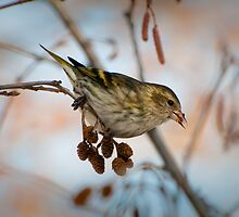 Pine Siskin - foraging on Red Alder by Joy Danen