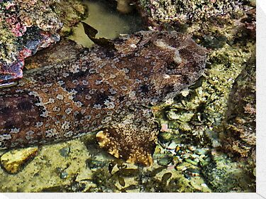 """Wobbegong Shark"" by debsphotos"