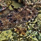 &quot;Wobbegong Shark&quot; by debsphotos