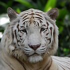 """""""White Tiger - Singapore Zoo"""" by Leonah"""