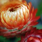 Flaming Beauty - NSW by CasPhotography