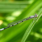Damselfly  In The Wind by Tracy Faught