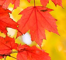 Maple leaves by snehit