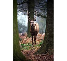 Wild Red Deer Photographic Print