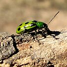 Western Spotted Cucumber Beetle ~ Adult by Kimberly Chadwick