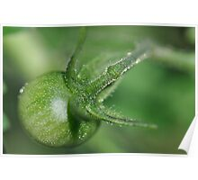 Green Baby Tomato Poster