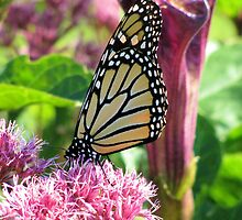 Monarch on Pink by shutterbug2010