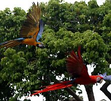 Macaws in Flight by djphoto