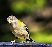 Lady Evening Grosbeak  by Teresa Zieba