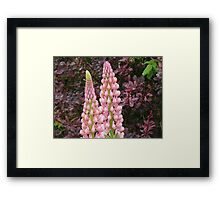 happy marriage of berberis and lupin Framed Print