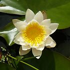 water lily by jimandgay