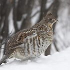 Ruffed Grouse by Wayne Wood