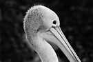 Serious Pelican by Renee Hubbard Fine Art Photography