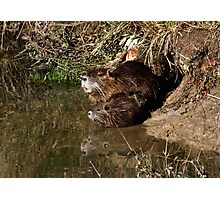 Nutria Trio & Reflection Photographic Print