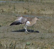 Curlew 02 by Sharon Perrett
