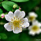 Wild Rose by Sheri Nye