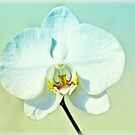White Orchid by blackjack