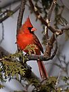 Male Northern Cardinal in Cedar Tree - Ottawa, Ontario by Michael Cummings