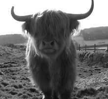 The Heiland Coo !! by Rob Parsons